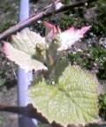 葡萄の若芽