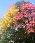 桂並木に桜