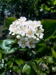 アロニア開花